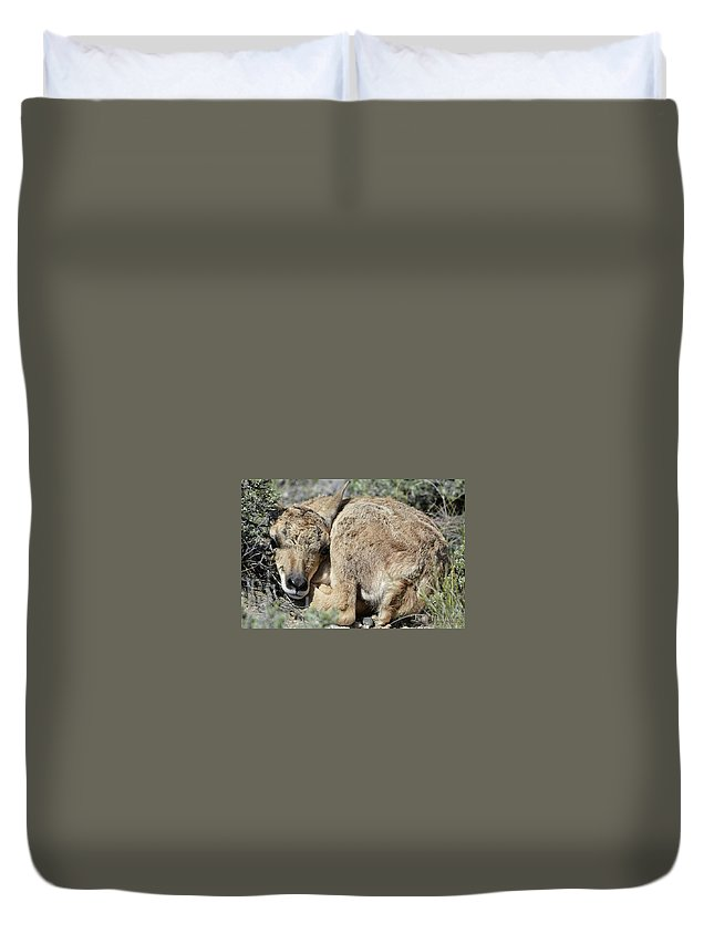 Pronghorn Antelope Wildlife Fawn Baby Wyoming Prairie Newborn Sage Duvet Cover featuring the photograph Pronghorn Antelope Fawn by Lin Myriadelle Youngblood