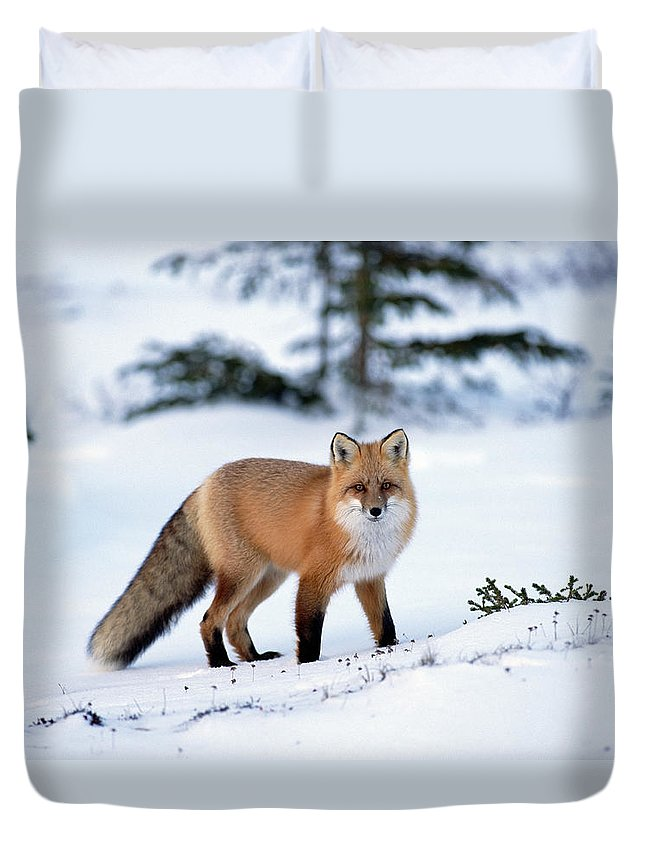 Mp Duvet Cover featuring the photograph Red Fox Vulpes Vulpes Portrait by Konrad Wothe