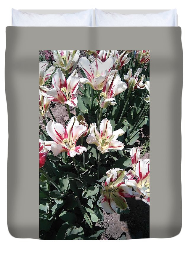 Red Stripe Tulips Under The Sun In May Duvet Cover featuring the photograph Red Stripe Tulips by Connie Du