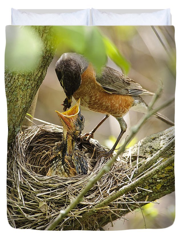 Timothy Flanigan Duvet Cover featuring the photograph Robin Feeding Young by Timothy Flanigan