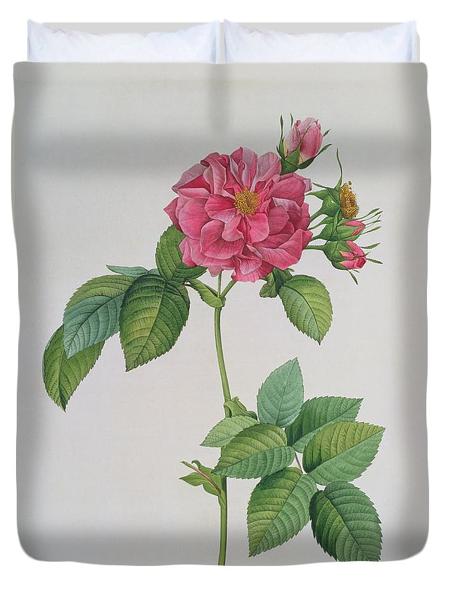 Rosa Duvet Cover featuring the drawing Rosa Turbinata by Pierre Joseph Redoute
