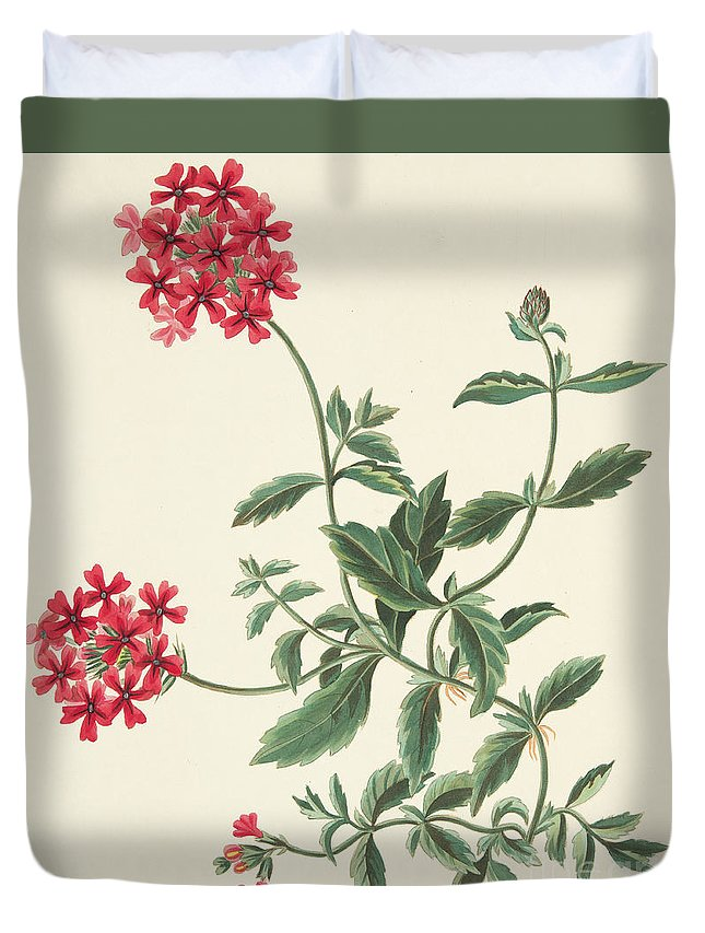 Red Duvet Cover featuring the drawing Scarlet Flowered Vervain by Margaret Roscoe