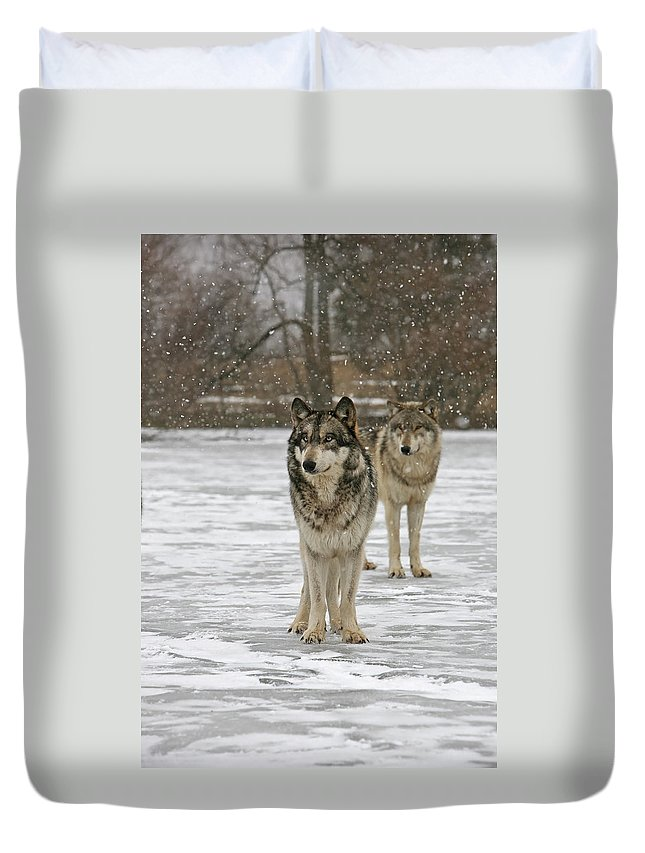 Wolf Wolves Pair Grey Timberwolf Canis Lupis Animal Wildlife Photography Photograph Snow Duvet Cover featuring the photograph Snow Mates by Shari Jardina