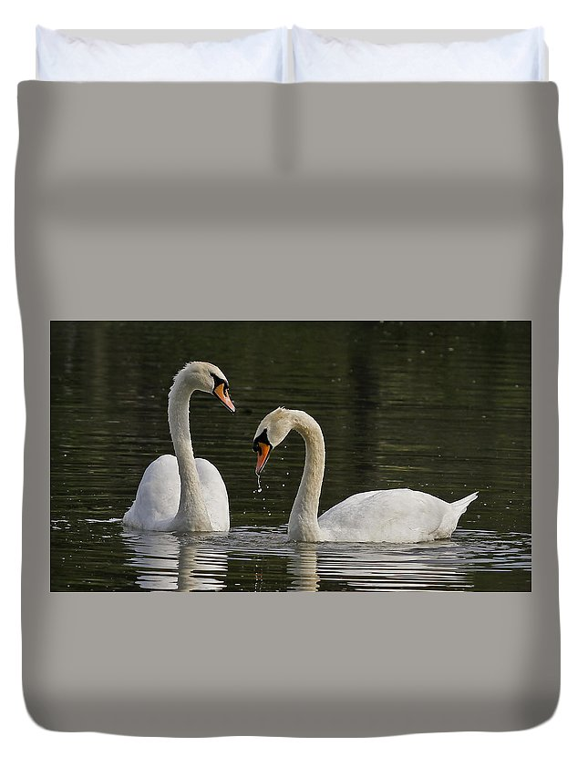Swans In Courtship Ritual. Duvet Cover featuring the photograph Swans Courtship by Sherry Butts