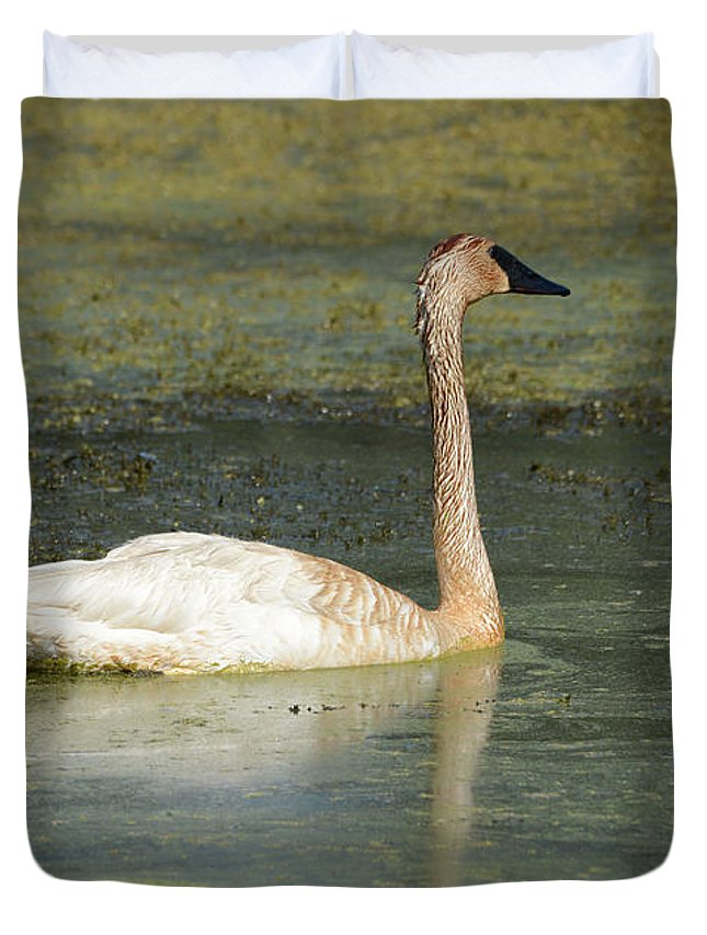 Swan Duvet Cover featuring the photograph Swimming Swans by Whispering Peaks Photography