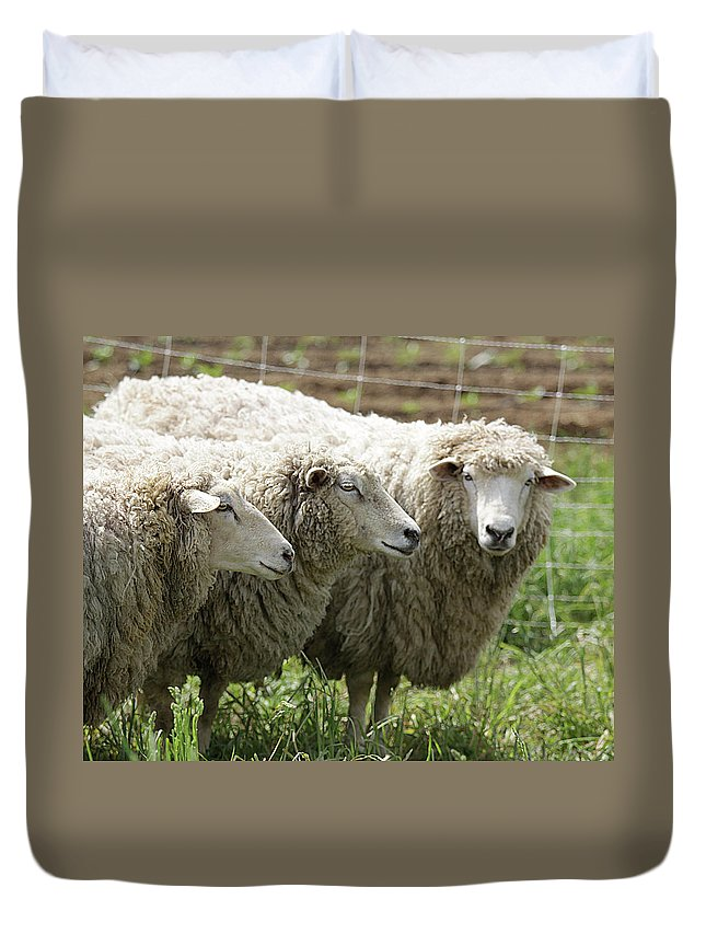 Sheep Duvet Cover featuring the photograph Trio by Jean Macaluso