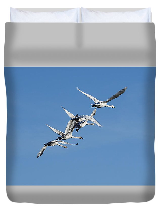 Swan Duvet Cover featuring the photograph Trumpeter Swans Flying by Alan Hutchins