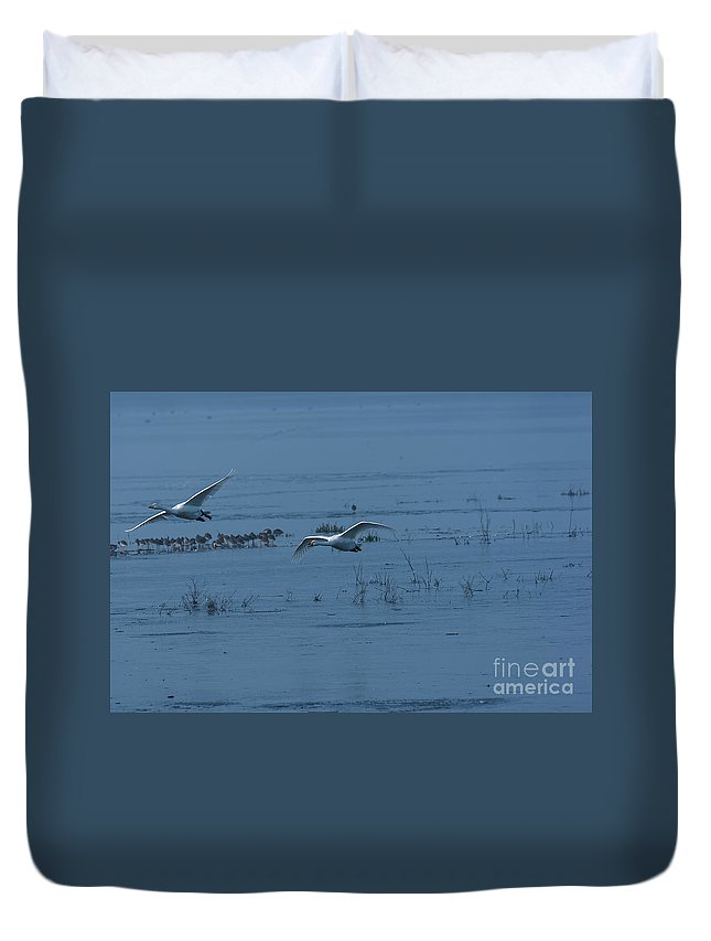 Whooper Duvet Cover featuring the photograph Two Whooper Swans In Flight by Philip Pound