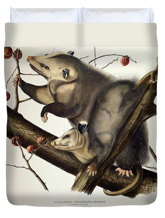Virginian Opossum Duvet Cover featuring the drawing Virginian Opossum by John James Audubon