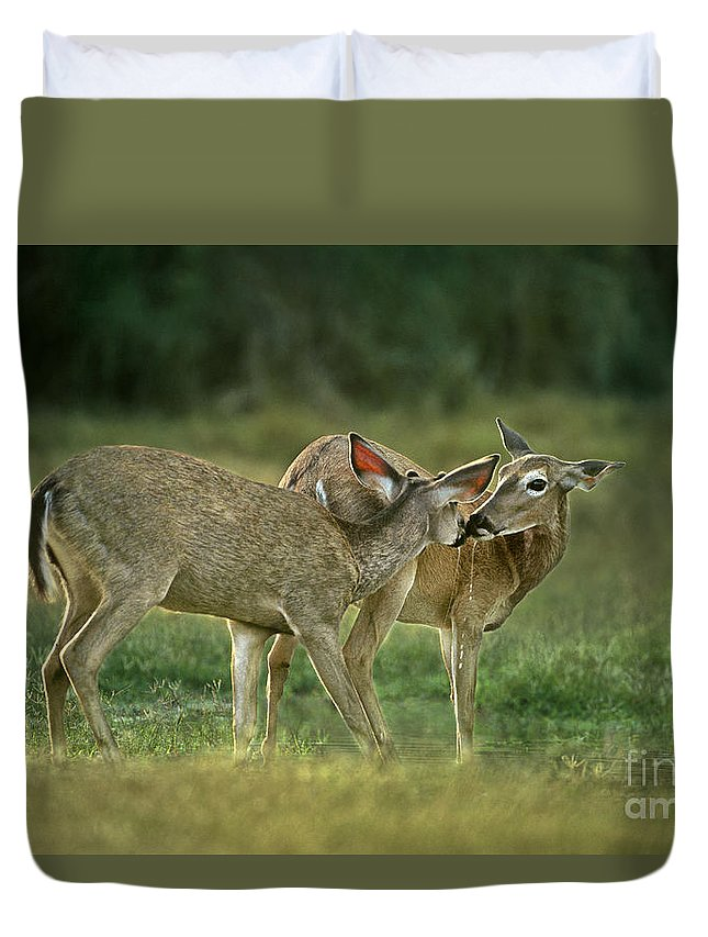 North America Duvet Cover featuring the photograph Whitetail Deer Share An Initmate Moment Texas Wildlife by Dave Welling