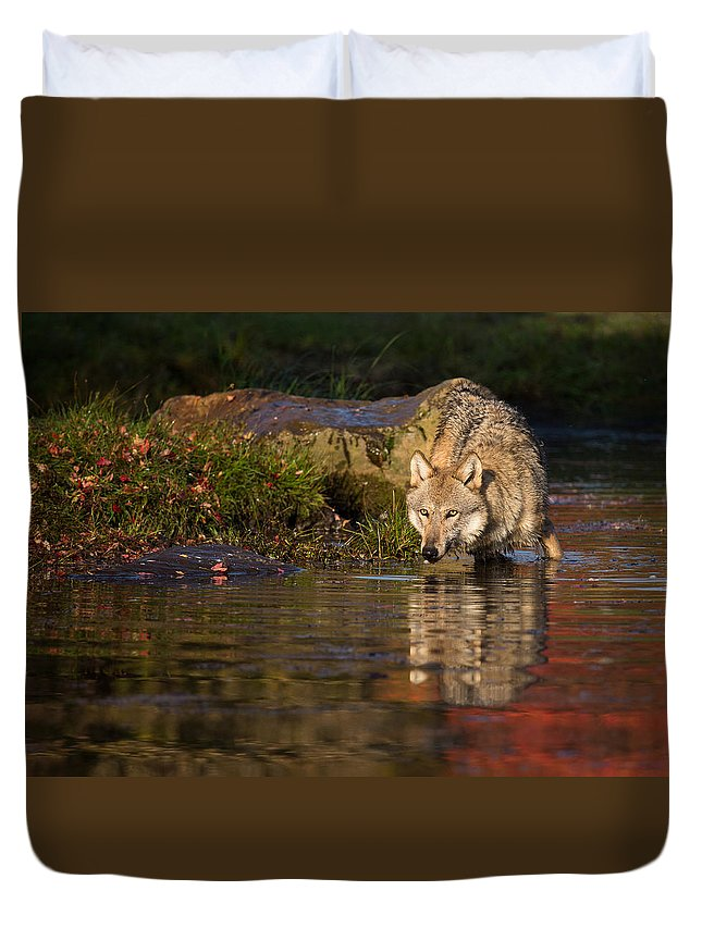Wolf Duvet Cover featuring the photograph Wolf In Pond by Michelle Lalancette