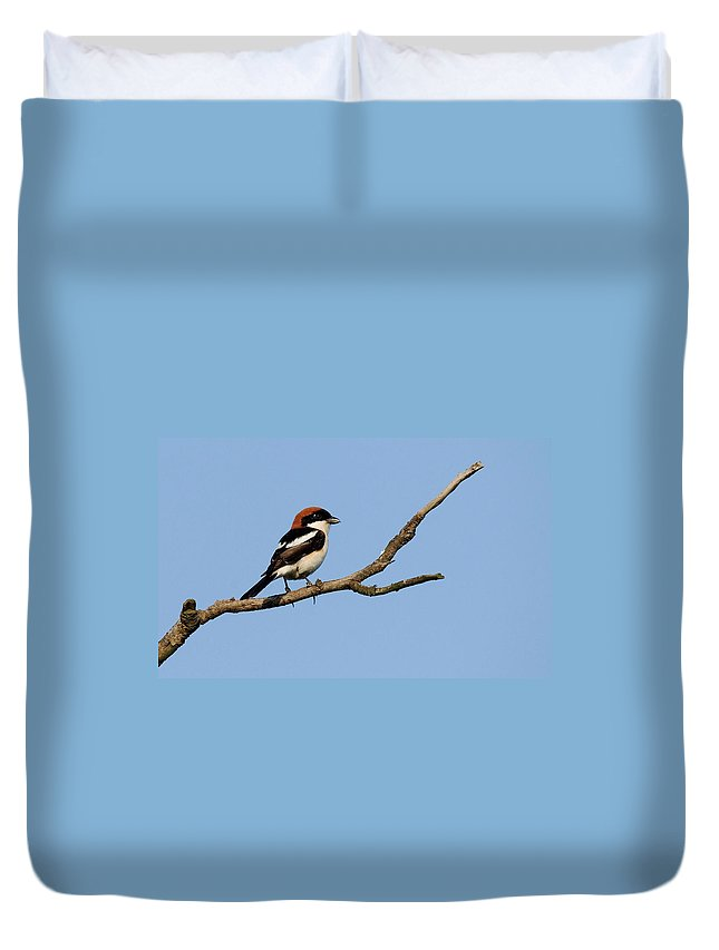 Woodchats Duvet Cover featuring the photograph Woodchat Shrike by Cliff Norton