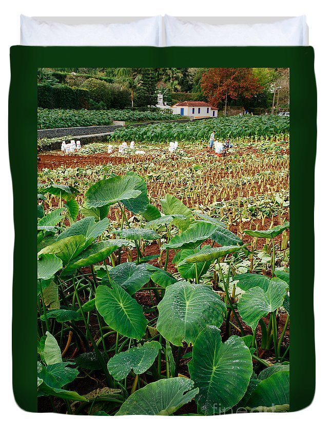 Agriculture Duvet Cover featuring the photograph Yams Farm In Azores by Gaspar Avila