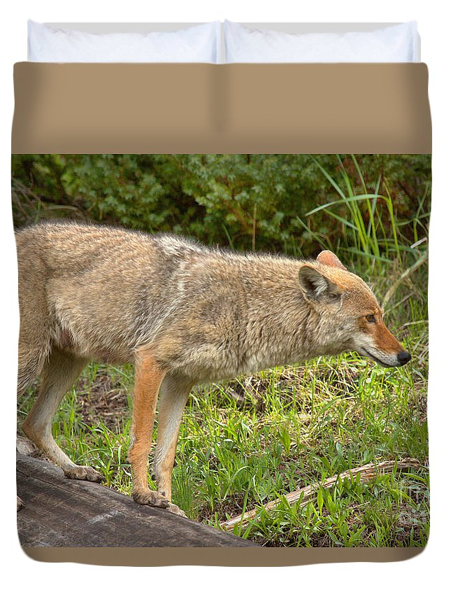 Yellowstone Coyote Duvet Cover featuring the photograph Yellowstone Coyote Scout by Adam Jewell