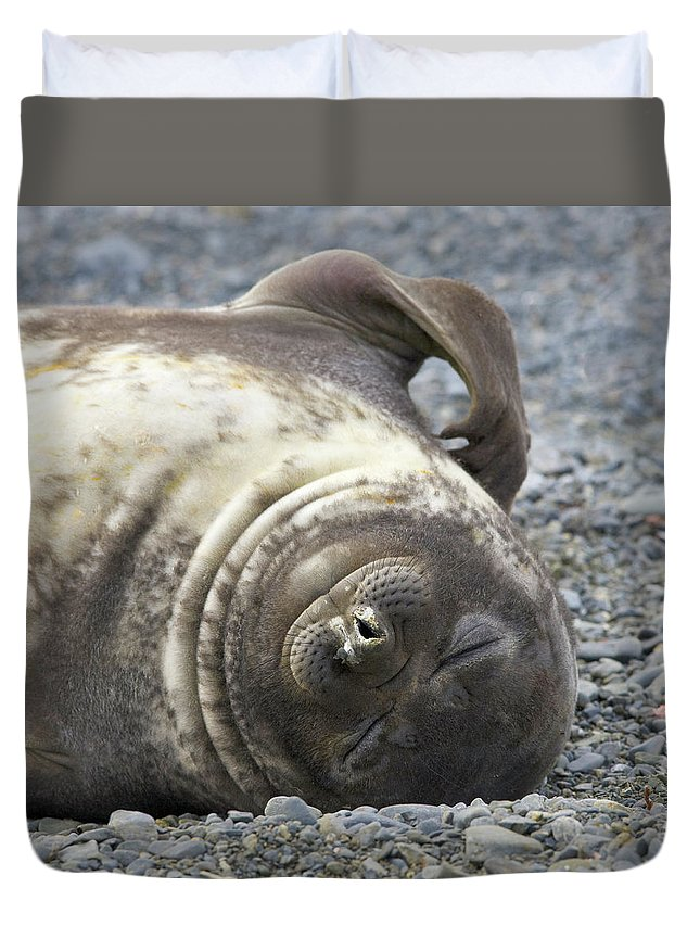South Georgia Island Duvet Cover featuring the photograph Southern Elephant Seal Weaner Pup by Eastcott Momatiuk