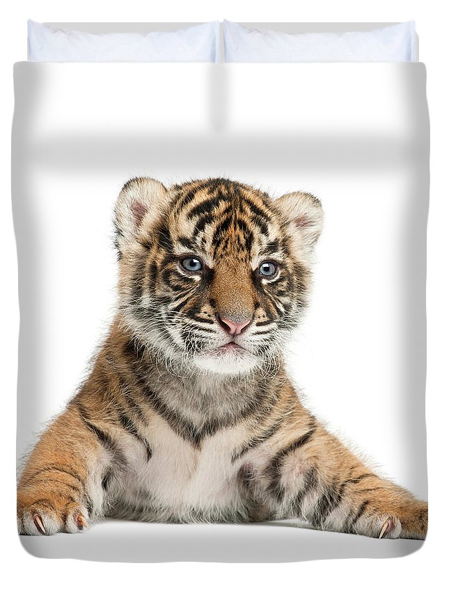White Background Duvet Cover featuring the photograph Sumatran Tiger Cub - Panthera Tigris by Life On White
