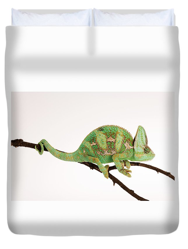 White Background Duvet Cover featuring the photograph Yemen Chameleon Sitting On Branch by Martin Harvey