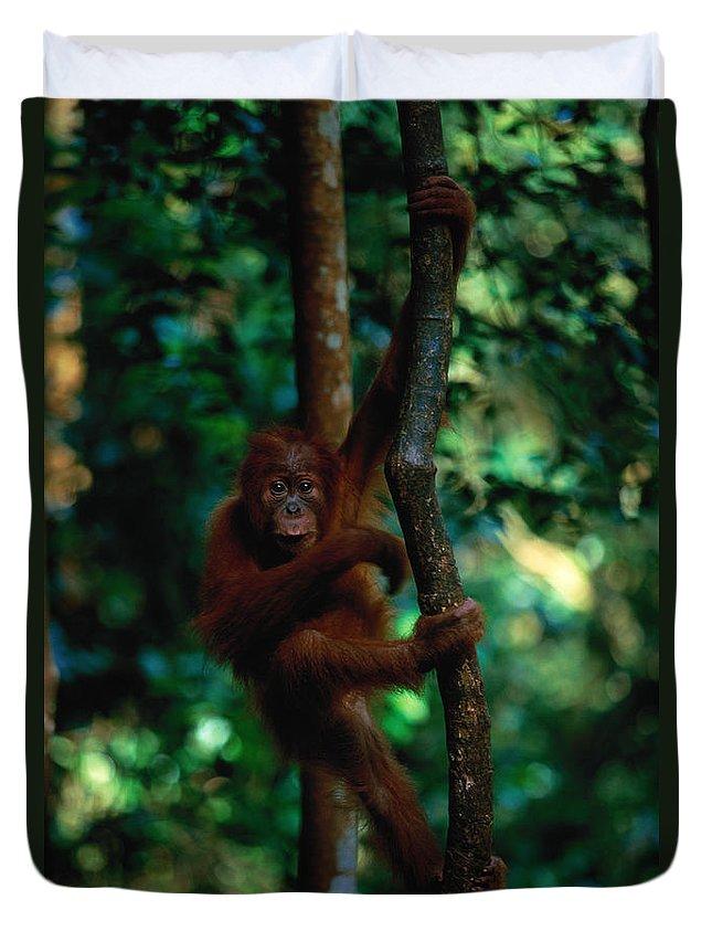 Southeast Asia Duvet Cover featuring the photograph Young Sumatran Orangutan Pongo Pongo by Art Wolfe