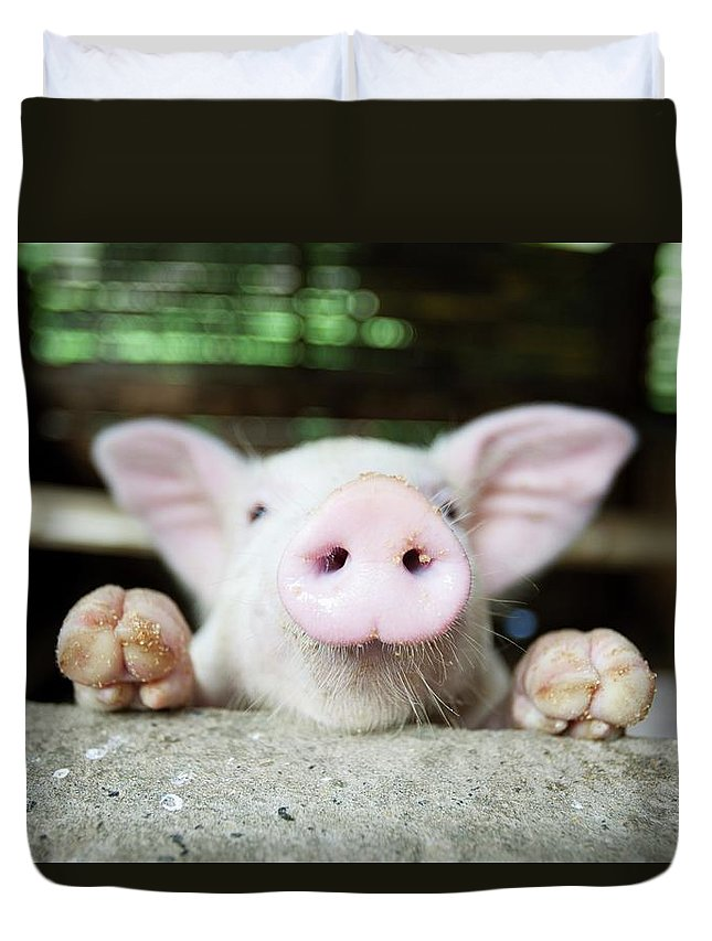 Negros Oriental Duvet Cover featuring the photograph A Baby Pig In Its Pen by Design Pics / Deddeda