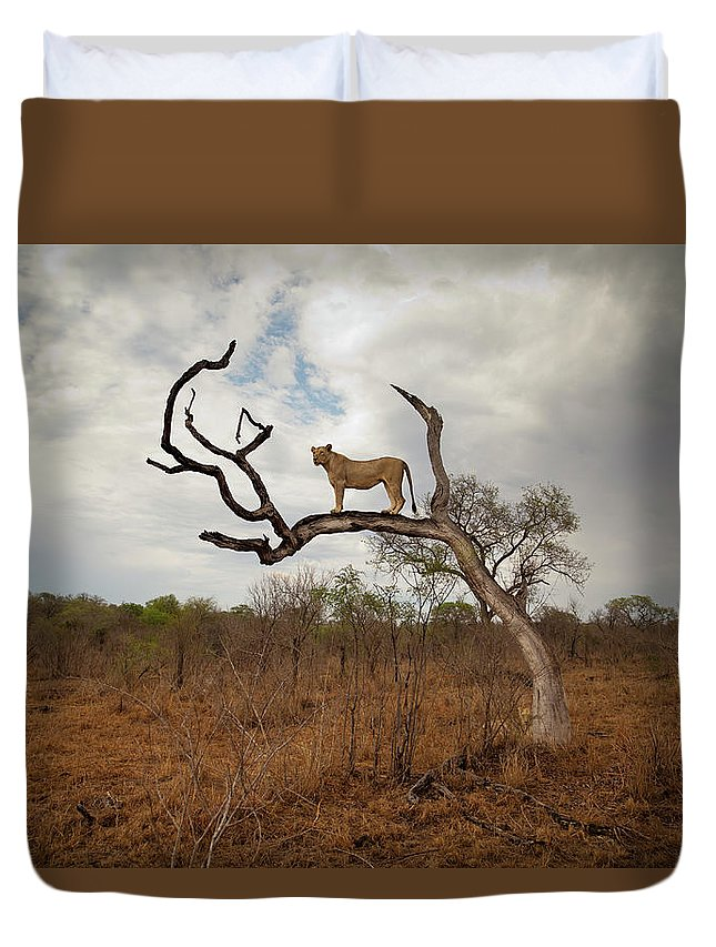 Scenics Duvet Cover featuring the photograph A Female Lion Standing On Bare Branch by Sean Russell