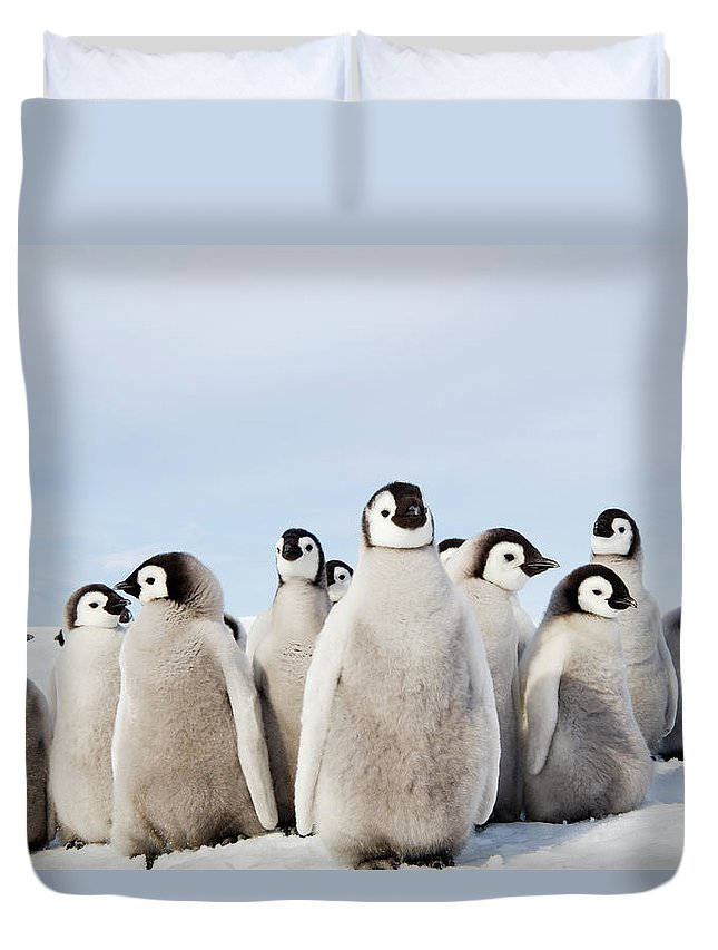 Emperor Penguin Duvet Cover featuring the photograph A Nursery Group Of Emperor Penguin by Mint Images - David Schultz
