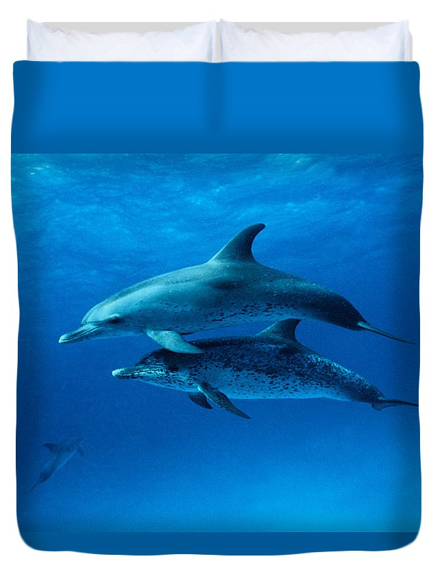 Color Image Duvet Cover featuring the photograph Atlantic Spotted Dolphins,stenella by Gerard Soury