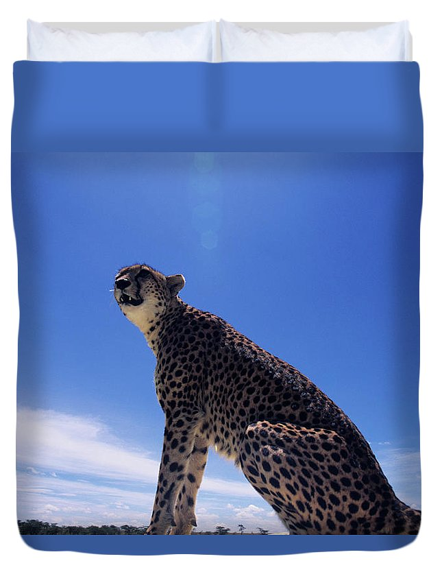 Kenya Duvet Cover featuring the photograph Cheetah Acinonyx Jubatus, Against Blue by Anup Shah