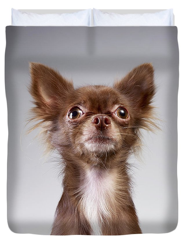Pets Duvet Cover featuring the photograph Chihuahua Looking Up by Stilllifephotographer