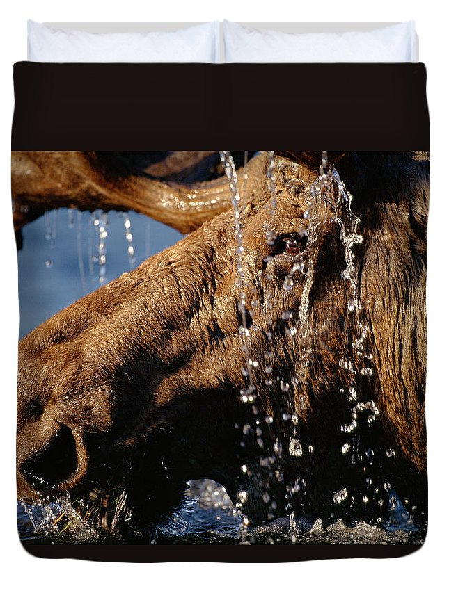 Male Animal Duvet Cover featuring the photograph Close-up Of Bull Moose Alces Alces With by Eastcott Momatiuk