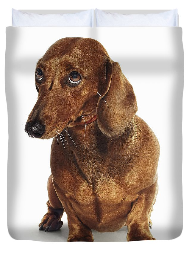 Pets Duvet Cover featuring the photograph Dachshund Looking Up by Gandee Vasan
