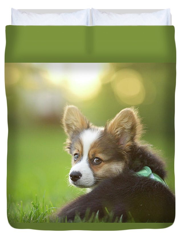 Pets Duvet Cover featuring the photograph Fluffy Corgi Puppy Looks Back by Holly Hildreth