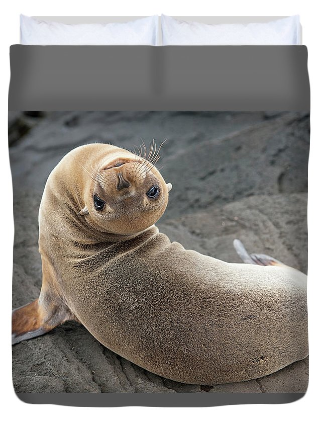 Looking Over Shoulder Duvet Cover featuring the photograph Fur Seal Otariidae Looking Back Upside by Keith Levit / Design Pics