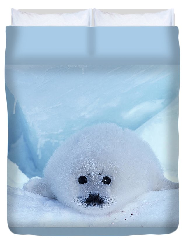 Iles De La Madeleine Duvet Cover featuring the photograph Harp Seal Phoca Groenlandica by Art Wolfe