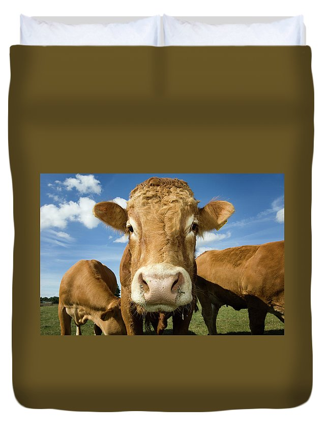 Cow Duvet Cover featuring the photograph Limousin Bull by Clarkandcompany
