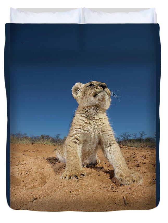 Big Cat Duvet Cover featuring the photograph Lion Cub Panthera Leo Sitting On Sand by Heinrich Van Den Berg