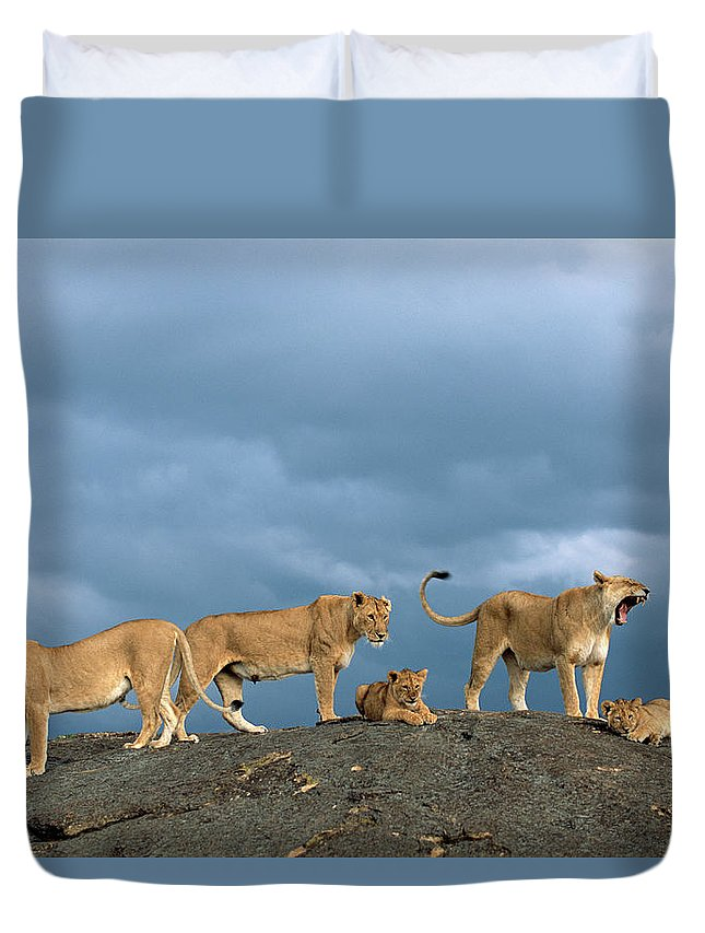 Kenya Duvet Cover featuring the photograph Lionesses And Cubs Panthera Leo On by James Warwick