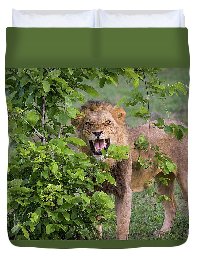 Toughness Duvet Cover featuring the photograph Male Lion With Teeth Bared, Botswana by Karen Desjardin