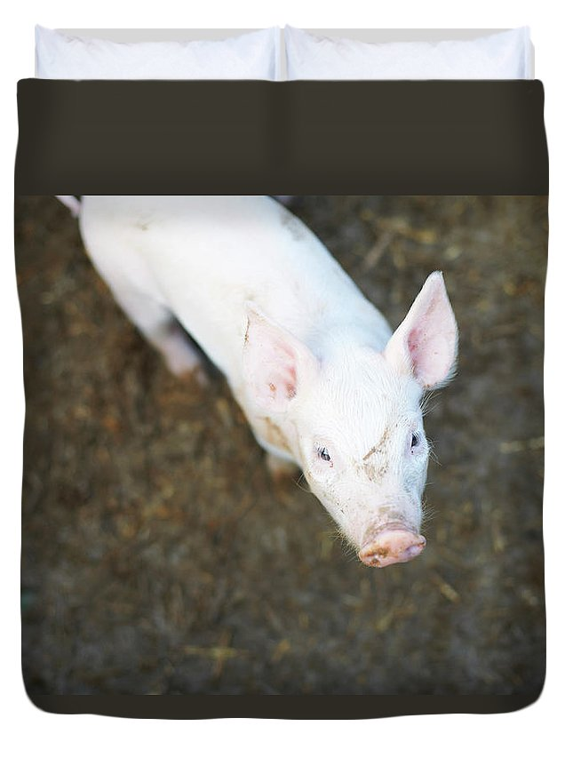 Pig Duvet Cover featuring the photograph Pig Standing In Dirt Field by Peter Muller