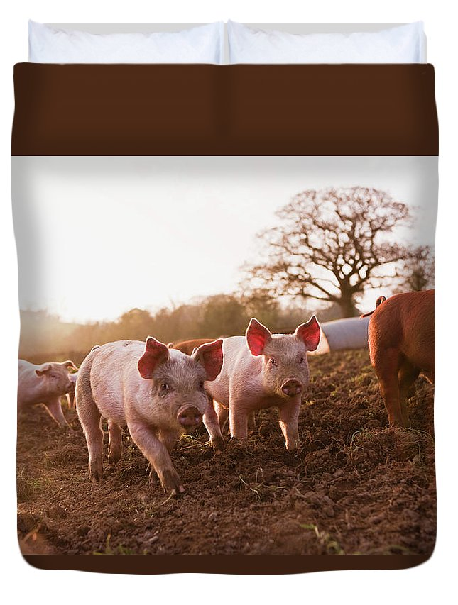 Pig Duvet Cover featuring the photograph Piglets In Barnyard by Jupiterimages