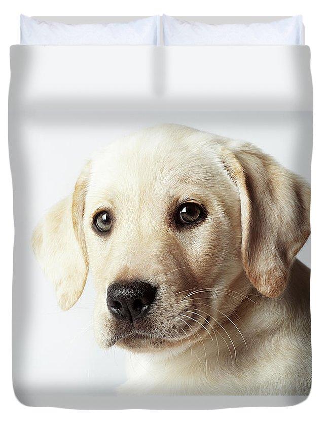 White Background Duvet Cover featuring the photograph Portrait Of Blond Labrador Retriever by Uwe Krejci