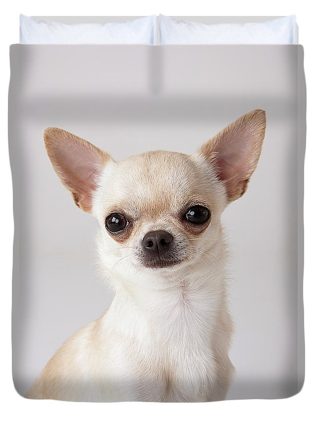 Pets Duvet Cover featuring the photograph Portrait Of Chihuahua by Compassionate Eye Foundation/david Leahy