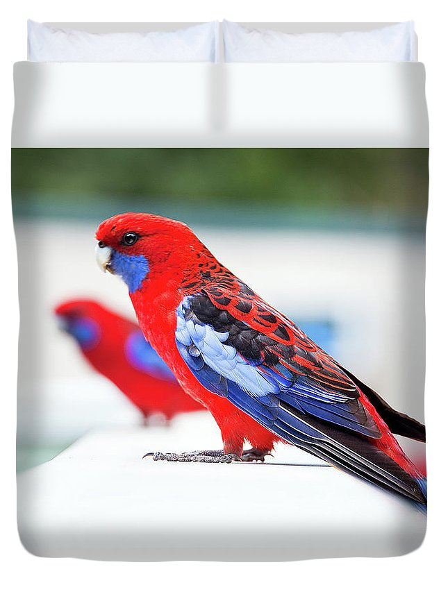 Animal Themes Duvet Cover featuring the photograph Red And Blue Rosella Parrots On White by Sharon Vos-arnold