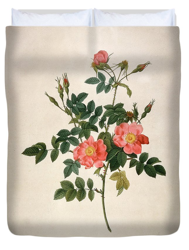19th Century Duvet Cover featuring the mixed media Rosa Rubiginosa by Pierre-Joseph Redoute