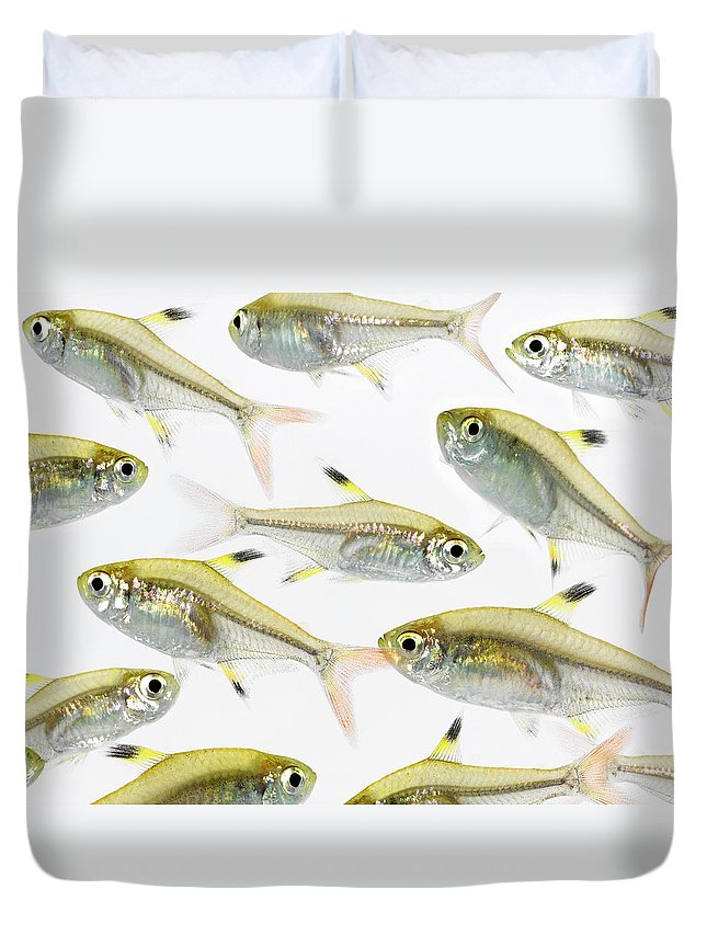 White Background Duvet Cover featuring the photograph School Of X-ray Tetra Fish Pristella by Don Farrall