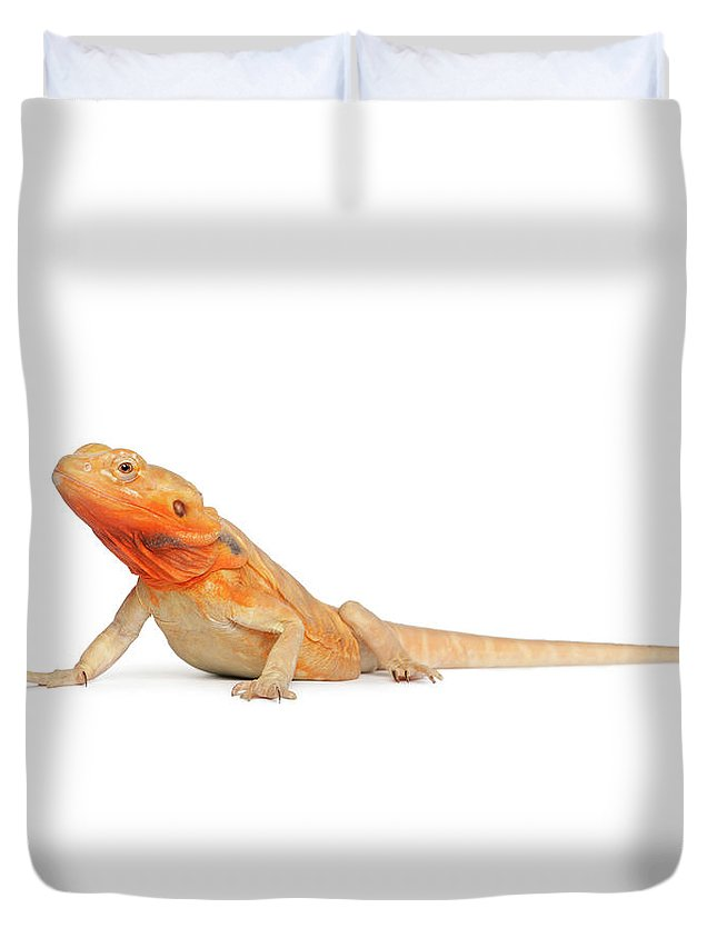Belgium Duvet Cover featuring the photograph Silkbacks Scaleless Bearded Dragon by Life On White