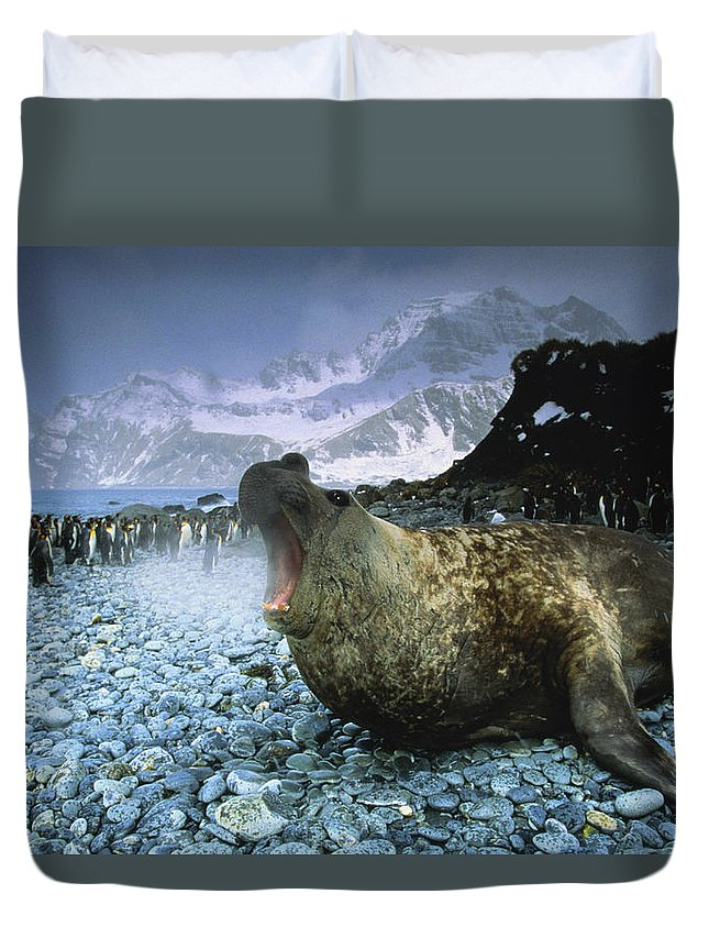 Snow Duvet Cover featuring the photograph Southern Elephant Seal Mirounga Leonina by Art Wolfe