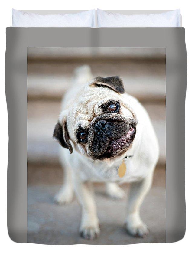 Pets Duvet Cover featuring the photograph Tan & Black Pug Dog Tilting Head by Alex Sotelo