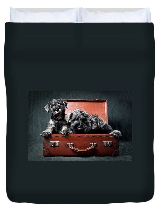 Pets Duvet Cover featuring the photograph Three Miniature Schnauzer Puppies In by Steve Collins / Momofoto