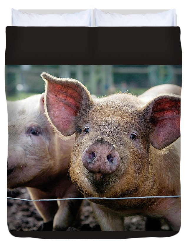 Pig Duvet Cover featuring the photograph Two Pigs On Farm by Charity Burggraaf
