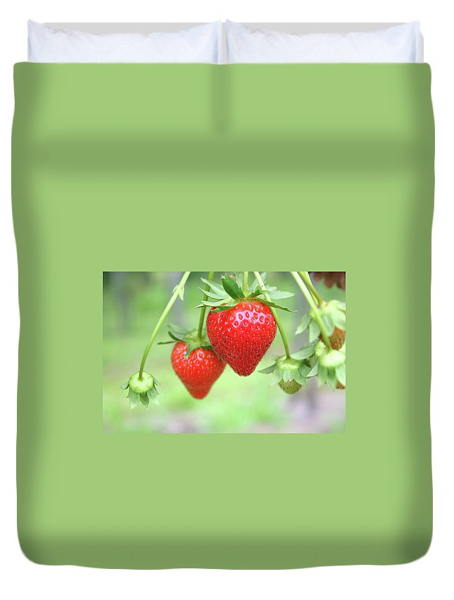Juicy Duvet Cover featuring the photograph Two Ripe Red Strawberries On The Vine by Hohenhaus